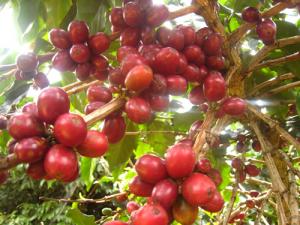 cafe-farmer